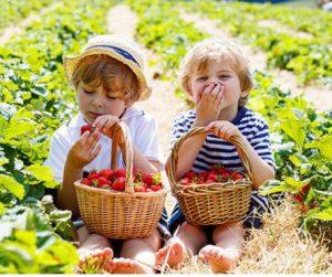 2018 11 19 15 06 41 קטיף תותים ללא ריסוס תות בשדה משק אריאל במושב קדימה גרו גרופון